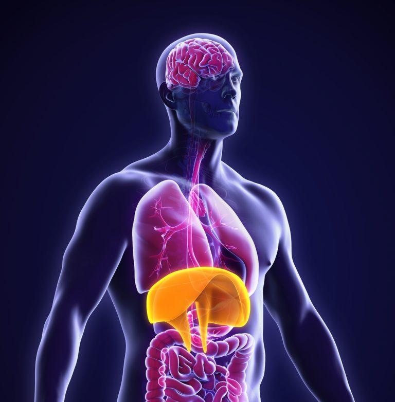 bigstock-Human-Diaphragm-Anatomy-103603898-p3-crpd-768x782
